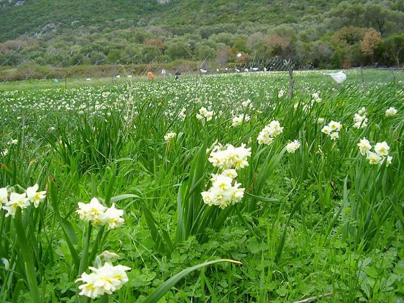 Nergis çiçekleriyle ünlü Karaburun - Karaburun Gezi Rehberi