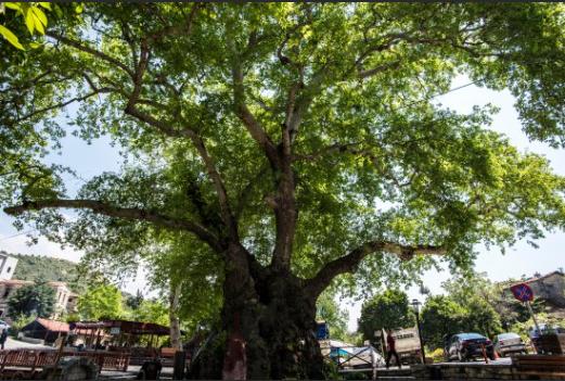 Musa Ağacı - Antakya Gezi Rehberi