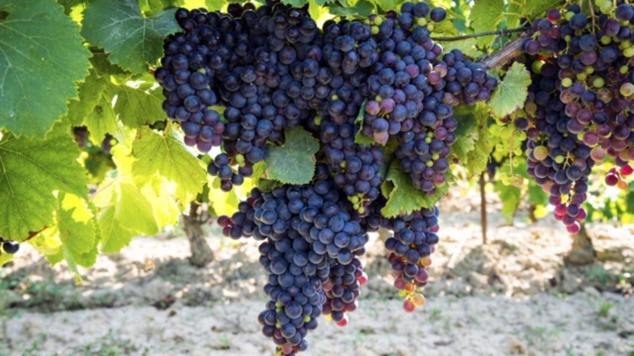 Türkiye'de Şarapçılık - Bölgelere Göre Türkiye Şarap ve Üzüm Rehberi