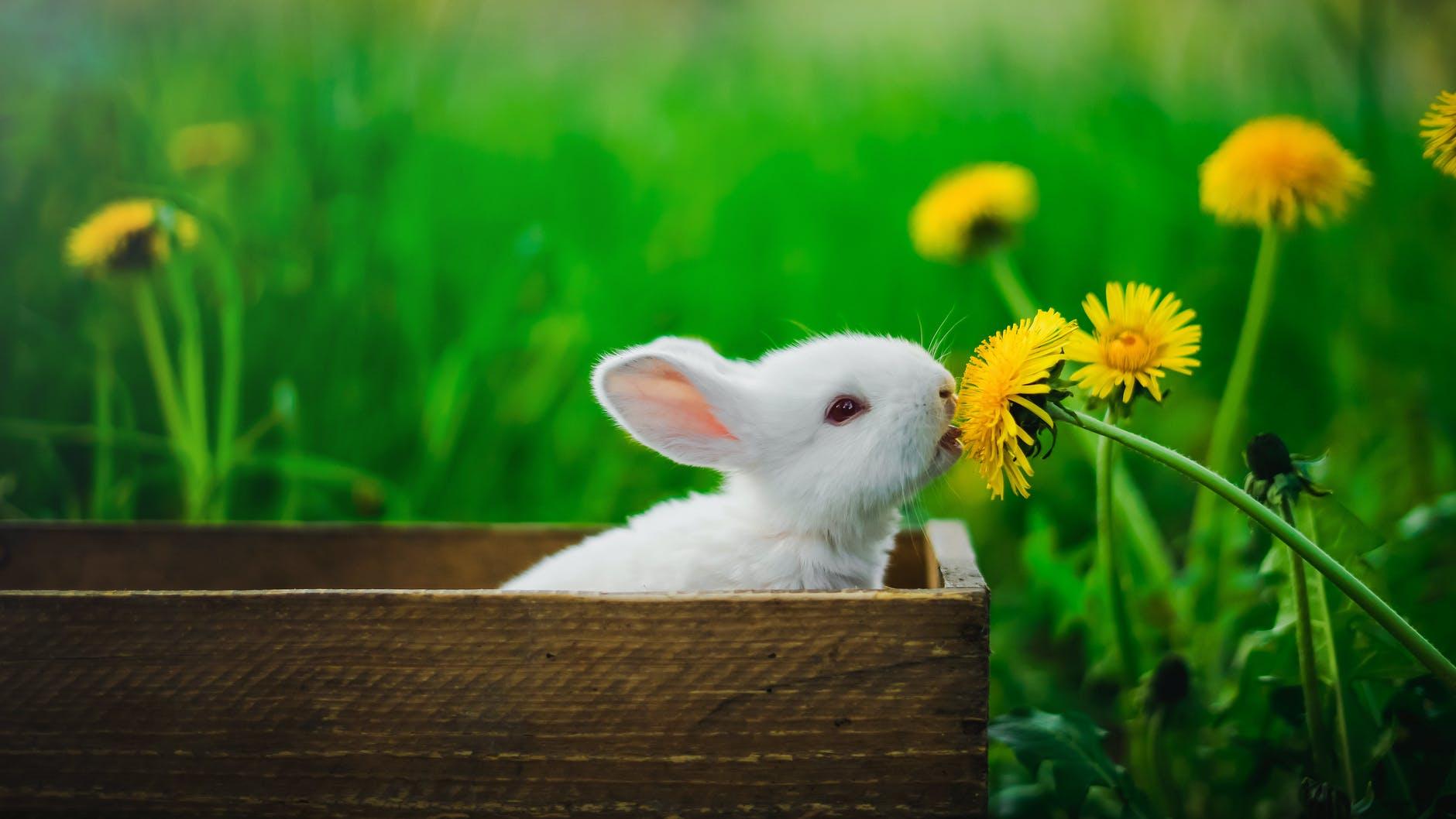 Kozmetikte Hayvan Deneyleri | Tavşan Ralph'i Kurtarmak